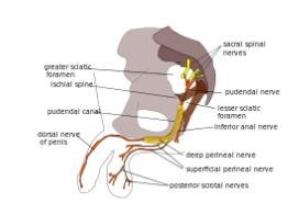 Schéma nerf pudendal